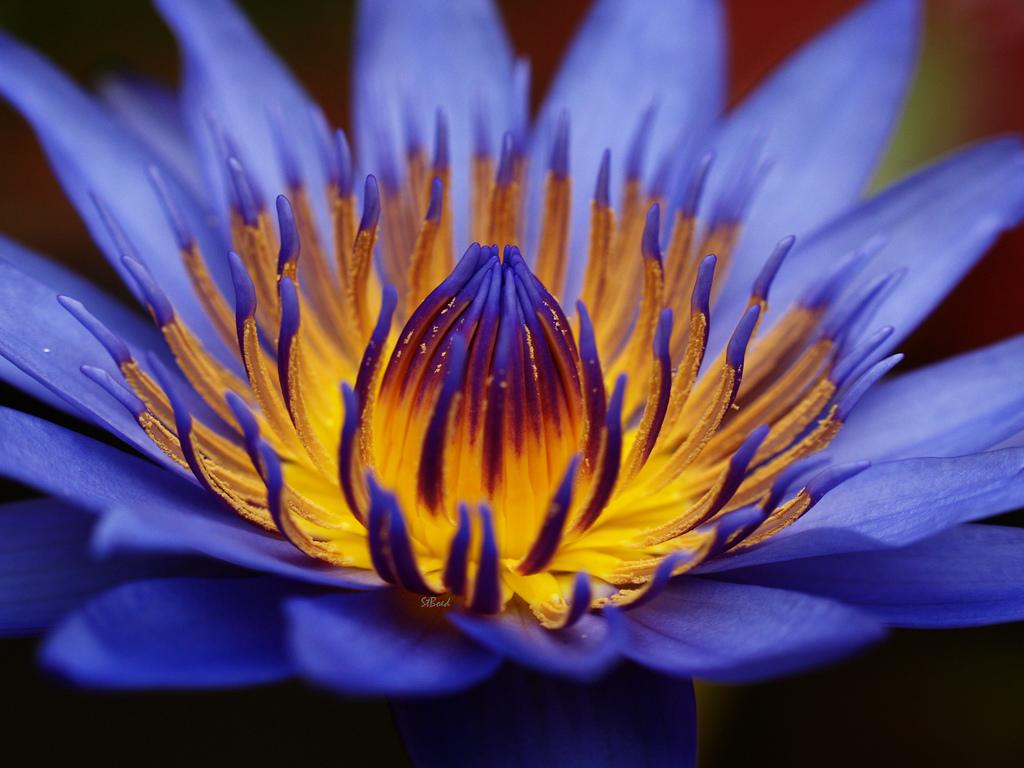 Цветок лотос семена