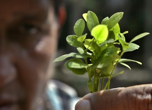 Выращивание коки из семян