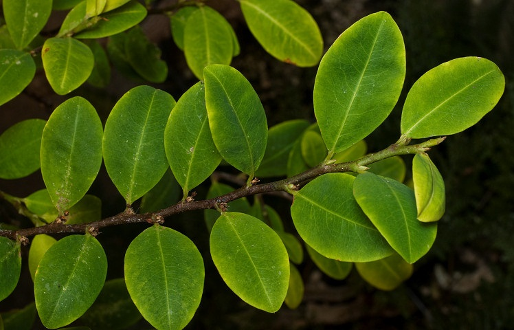 кока фото растение