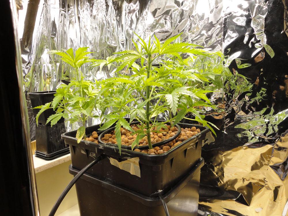 Технология гидропоники для конопли можно ли после операции курить марихуану