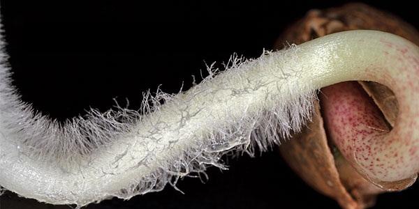 Проращивание семян марихуаны в торфяных таблетках растет дома конопля