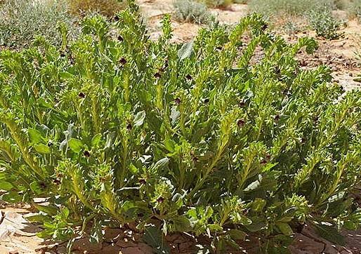 растение белена. фото