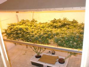 ScroG выращивание конопли