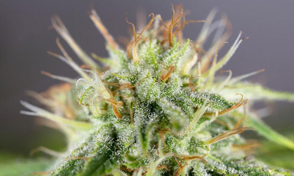 Конопли признаки зрелости платеж наложенный семена марихуаны