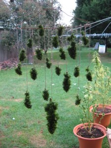 buds drying outdoor