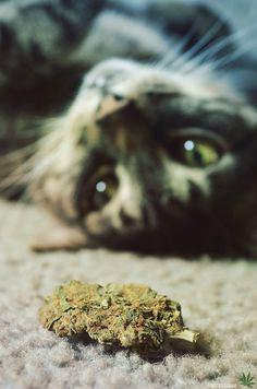 Марихуана животное кто первый начал курить марихуану
