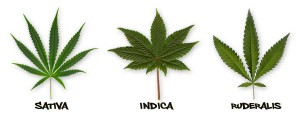 indika-sativa-ruderalis