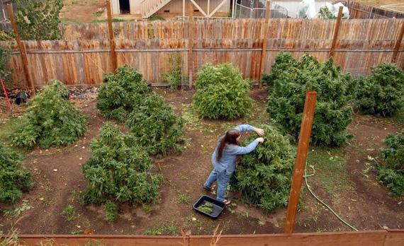 Плюсы и минусы выращивания конопли в открытом и закрытом грунте