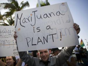 marihuana-eto-rastenie