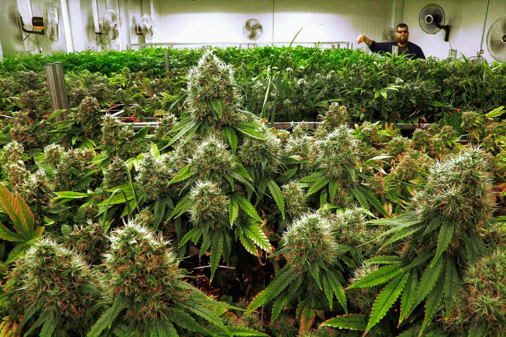 Компания по производству марихуаны судится с Google из-за блокировки рекламы
