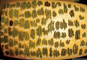 sorta-marihuany
