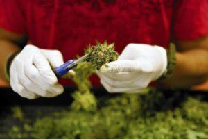 9 аргументов самостоятельно выращивать марихуану