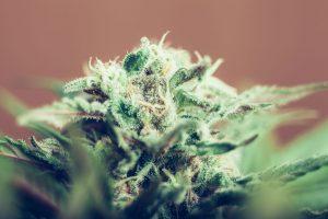 Какой сорт медицинской марихуаны подходит мне лучше всего?