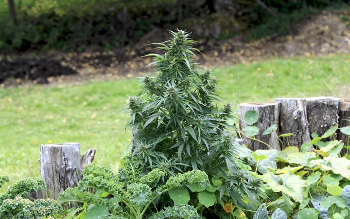 Что нужно для выращивания конопли на улице?