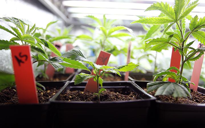 molodiye_rasteniya_cannabisa