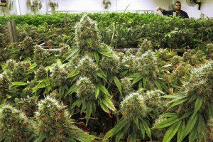 К 2021 году марихуану могут узаконить во всех 50 штатах