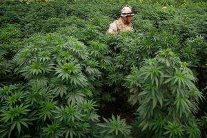 10 стран, которые выращивают лучшую в мире марихуану