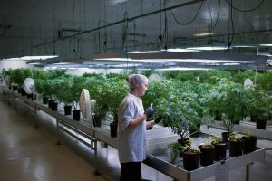 В Канаде не хватает марихуаны