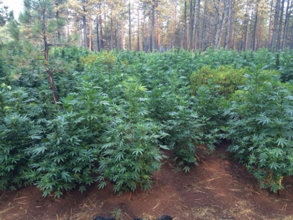Как выращивать марихуану в лесу сколько дней марихуана в организме