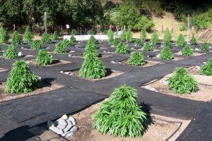 6 лучших мест для выращивания марихуаны на улице
