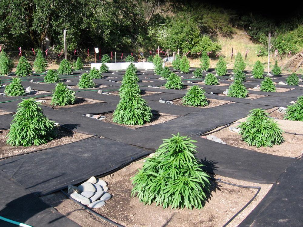 Как правильно выращивать марихуану на улице конопли черенкование