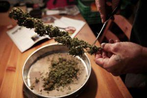 Филиппины легализовали медицинскую марихуану