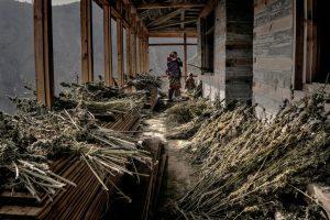 Фоторепортаж: Кто и как выращивает лучший в мире гашиш