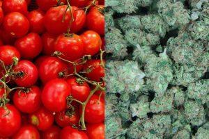 Как выбрать лучшую почву для выращивания конопли