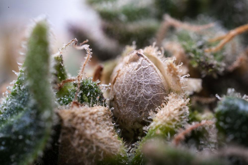 Как феминизировать семена конопляные хороший магазин семян конопли