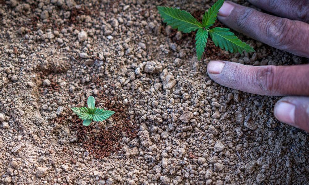 Состав земли для конопли действие на организм конопли