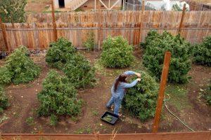 Как подготовить свой сад для выращивания конопли на улице