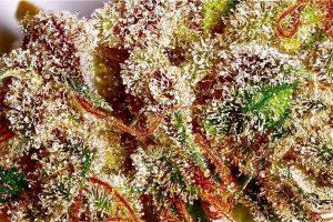 Факты. Промывка марихуаны на гидропонике: без обмана.