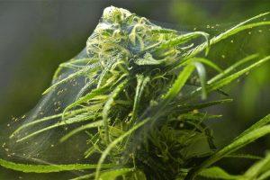 Паразиты конопли: паутинный клещ, грибные комарики и корневая тля