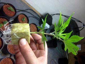 rockwool-cannabis-roots