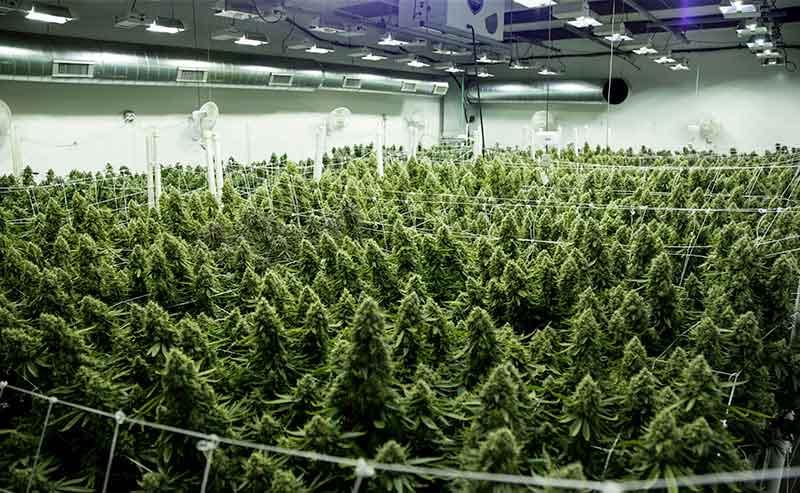 summer-cannabis-growing