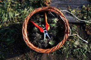 Когда собирать урожай конопли