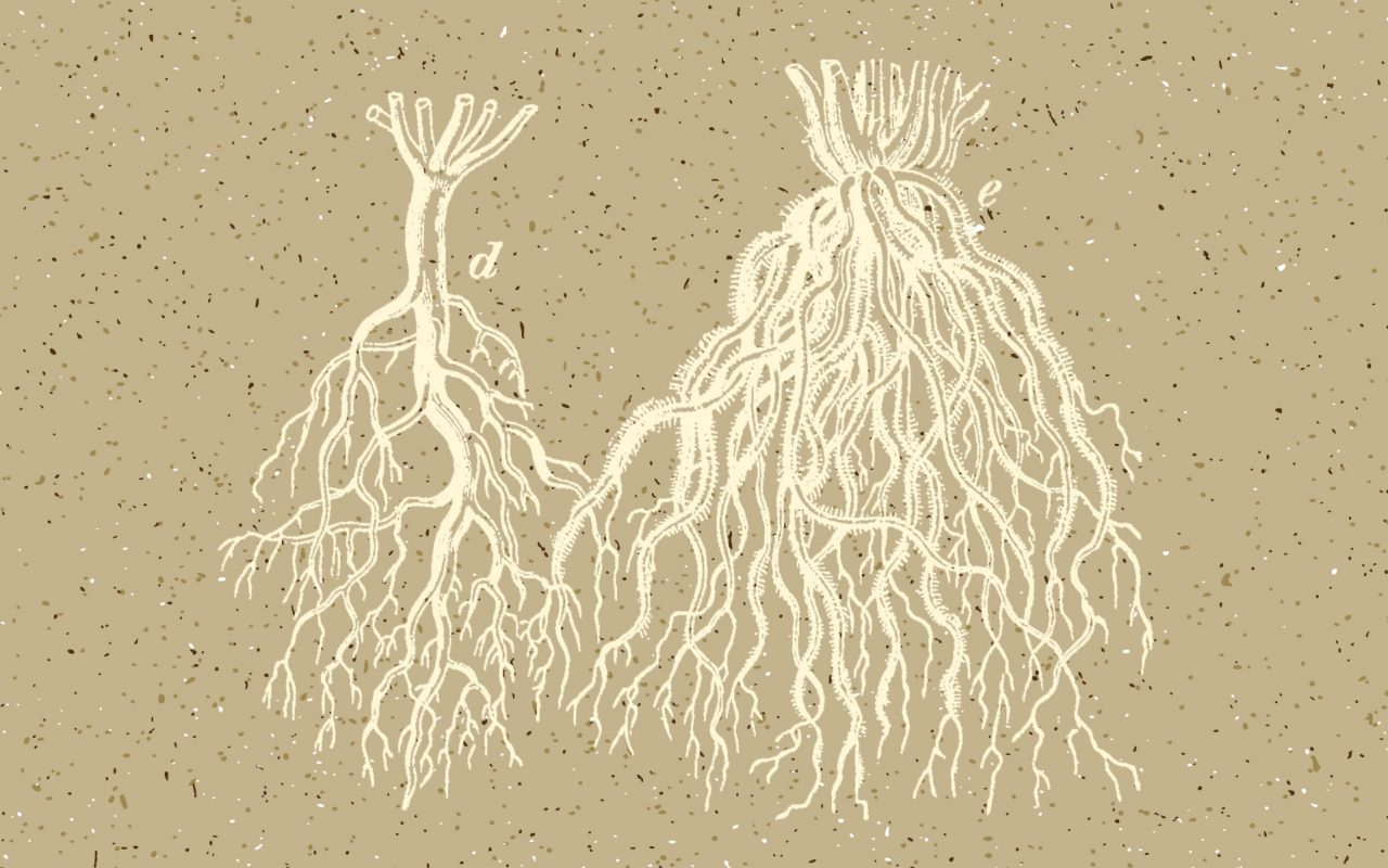 здоровые корни конопли