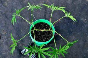Как тренировать коноплю для увеличения урожайности и мощности (LST, HST, суперкроппинг)