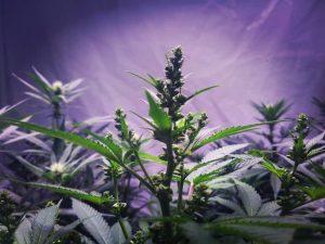 мужское растение конопли