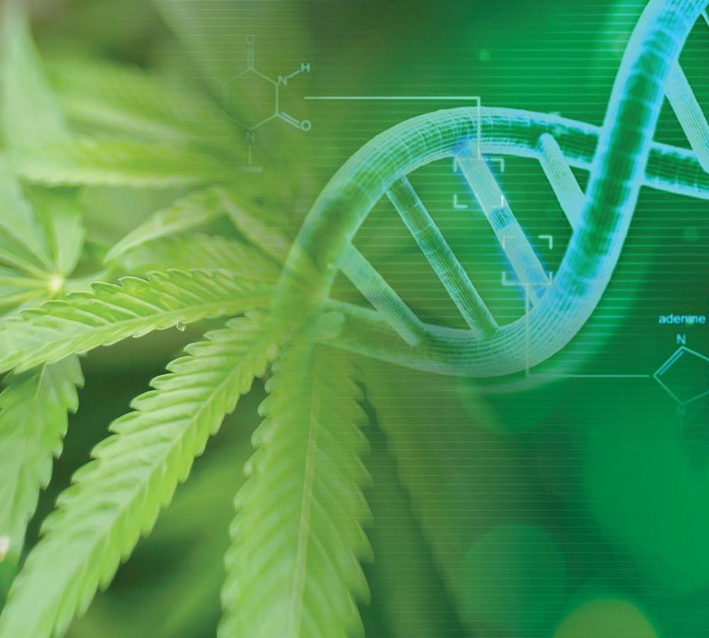 cannabis-genetika
